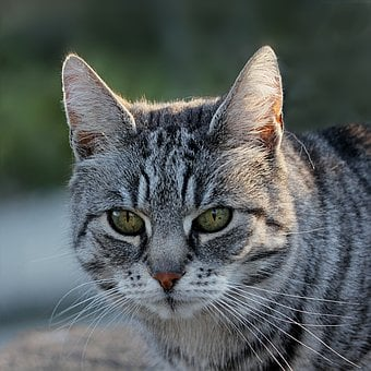 Animal, Mammal, Cat, Felis Silvestris Catus, Cute