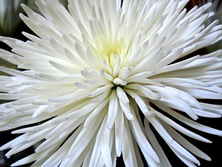 Chrysanthemum, Spider Mum, Flower, Nature, Flora, Mum