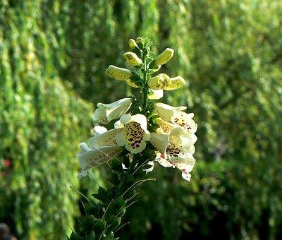 Bellflower, Plant, Flower, Nature, Leaf, Tree, Bell