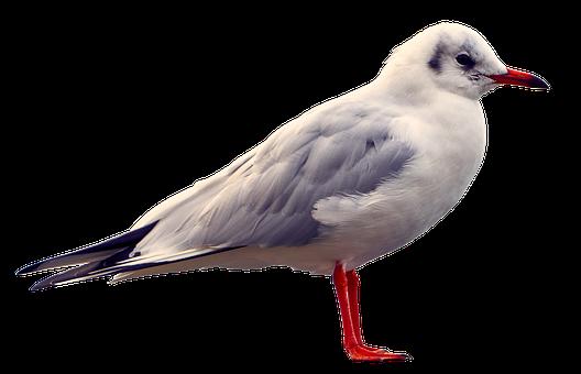 Seagull, Bird, Wing, Animal, Animal World, Nature