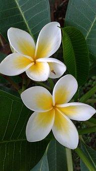Frangipani, Plumeria, Tropical, Plant, Flower, Nature