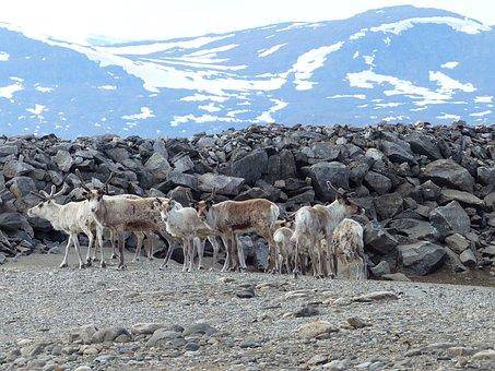 Nature, Rock, Mountain, Snow, Landscape, Reindeer