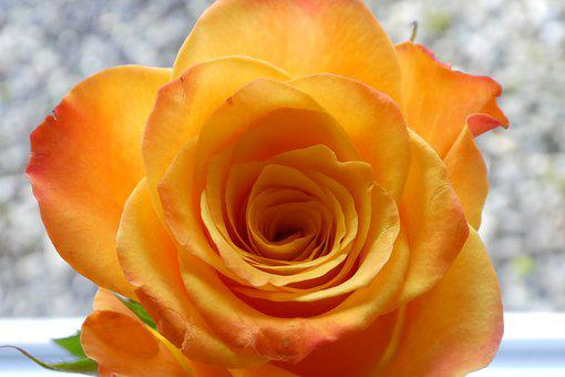 Rose, Blossom, Bloom, Close, Yellow