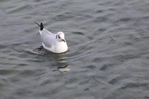 Water, Bird, Lake, Nature, Seagulls