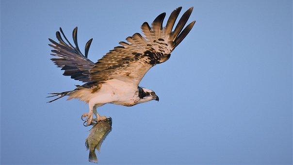 Bird, Wildlife, Raptor, Nature, Eagle