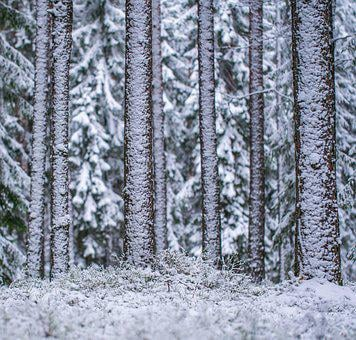 Snow, Winter, The Trunks Of The Trees, Trees, Pine, Efi