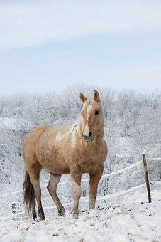Horse, Gelding, Stallion, Mane, Animal, Pony, Range