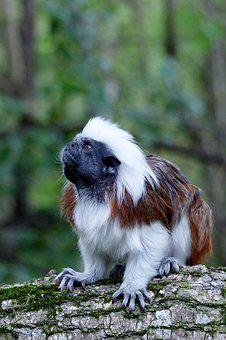 Nature, Mammal, Animal, Cute, Liszt Monkey
