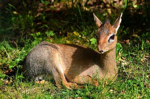Nature, Mammal, Animal World, Animal, Cute, Kirk-dikdik