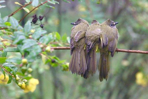 Flavescent Bulbul, Bulbul, Song Bird, Bird, Wings