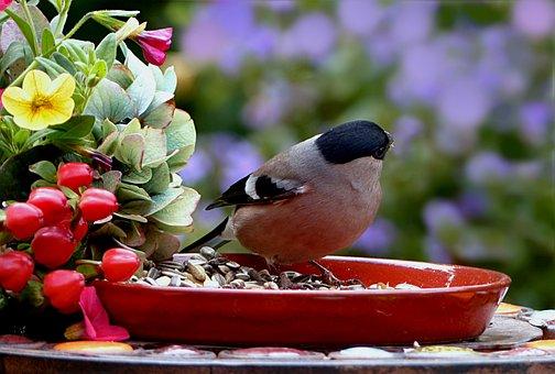 Animal, Bird, Bullfinch, Pyrrhula, Female, Meal, Plate