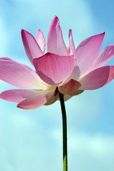 Flora, Flower, Nature, Lotus, Summer, Pure, Clean