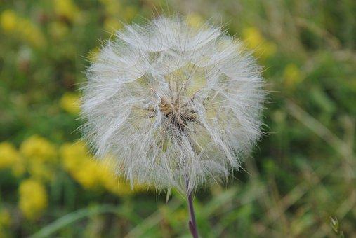 Dandelion, Nature, Plant, Flower, Summer