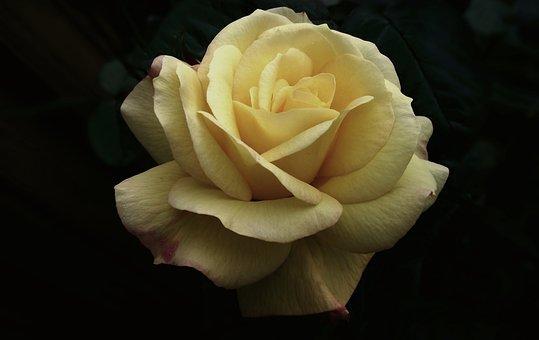 Flower, Rose, Yellow, Petal, Love, Nature, Closeup