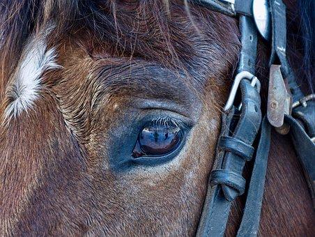 Animal, Portrait, Mammal, Cavalry, Nature, Head, Face