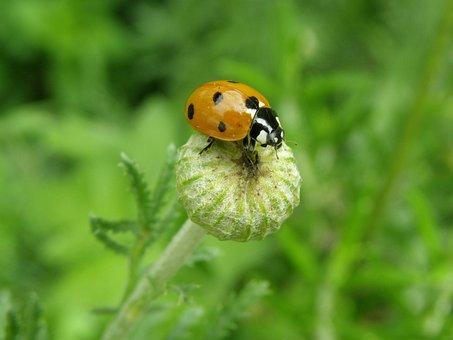 Ladybug, Lucky Ladybug, Beetle, Siebenpunkt