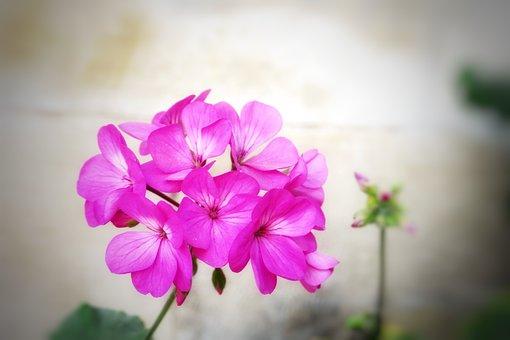 Flower, Plant, Nature, Petal, Garden, Summer, Bloom