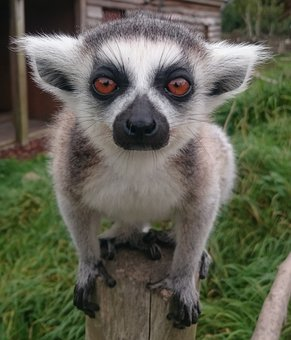 Monkey, Primate, Mammal, Animal, Cute, Lemur, Wildlife