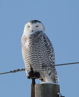 Raptor, Bird, Wildlife, Owl, Beak, Snowy Owl, Winter