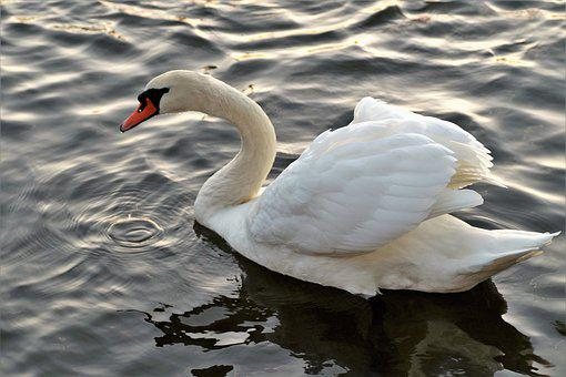 Swan, White, Water Bird, Water-level, Pond, Wild