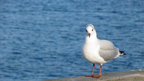 Waters, Sea, Bird, Nature, Seagull