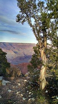 Grand Canyon South Rim, Twisted Tree At Grand Canyon