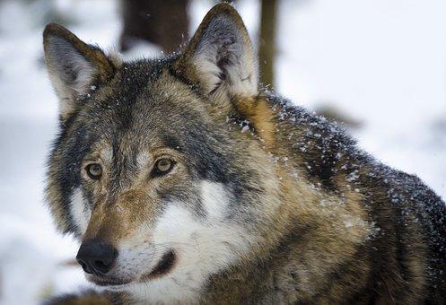Mammal, Animal Life, Wolf, Predators, Animals, Wild