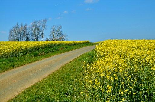 Field Of Rapeseeds, Oilseed Rape, Away, Field