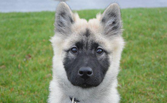 Dog, Pup, Eurasier, Bitch Nova, Canine, Female Eurasier