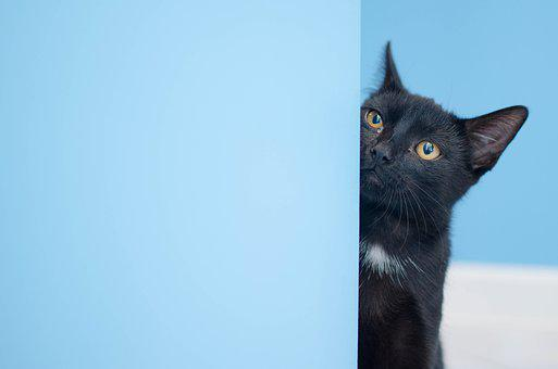 Cat, Black Cat, Cat Staring, Domestic Cat