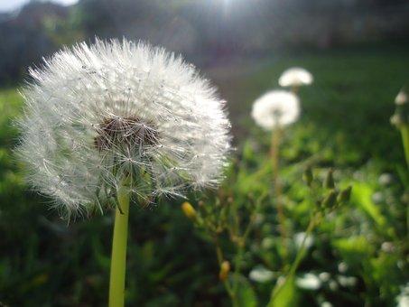 Taraxacum, Flower, Nature, Plant, Summer, Lawn, Henar
