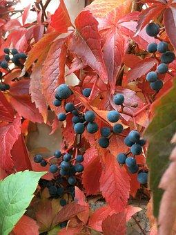 Autumn, Red Vine Leaves, Garden, Leaf, Nature, Season