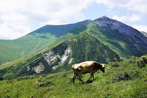Mountains, Northern, Georgia, Russia Border, Cattle