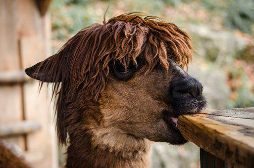 Animal, Nature, Cute, Portrait, Mammal, Alpaca, Hair