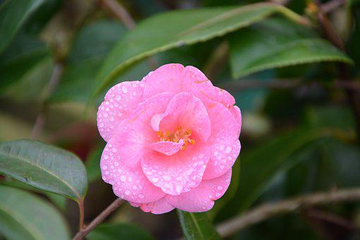Flower, Flower Of Camellia, Pink Flower, Nature, Plant