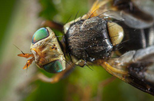 Insect, Animals, Nature, Fly, Wing, Macro