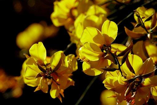 Flower, Nature, Plant, Broom, Yellow, Bloom
