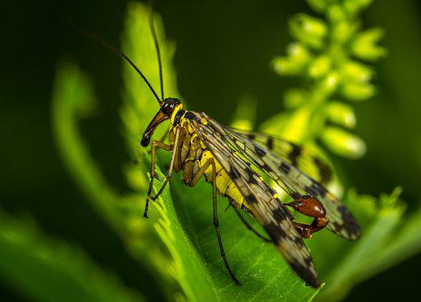 Insect, Nature, Wing, Outdoors, Animals, Scorpionica