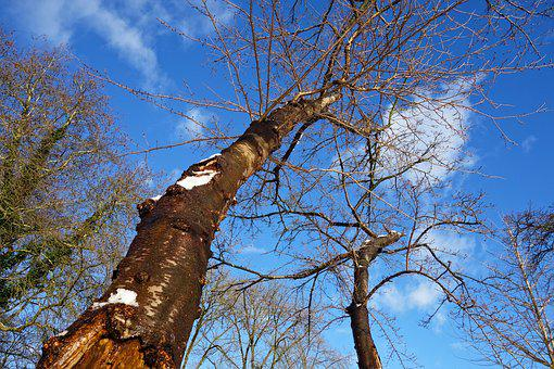 Tree, Trunk, Bark, Tree Top, Rising Up, Bare Branches