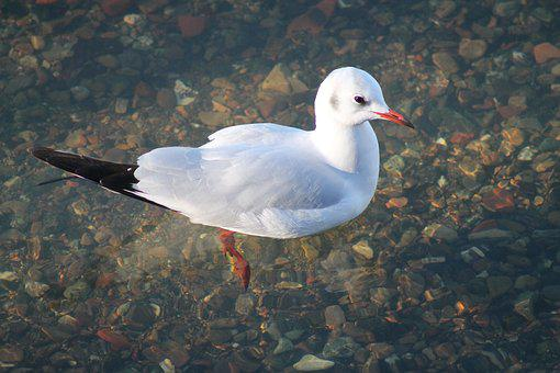 Seagull, Bird, Animals, Water
