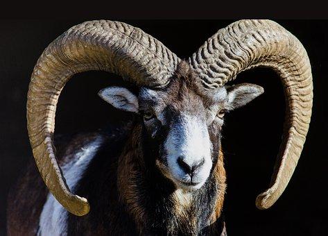 Mammal, Animal, Nature, Animal World, Sheep, Wild Sheep