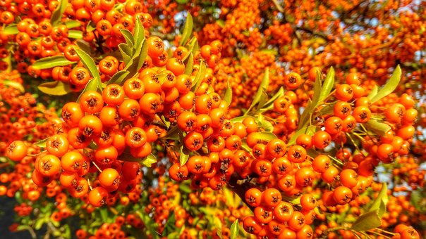 Nature, Berries, Fruits, Autumn, Wild Berries, Bush