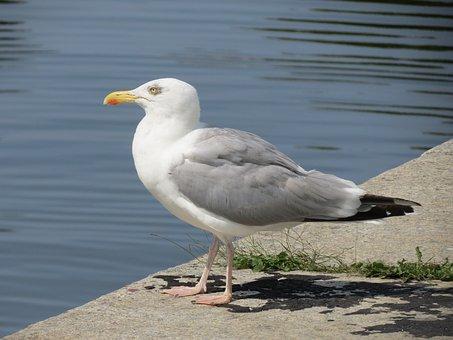 Herring Gull, Stralsund, Port, Seagull, Baltic Sea