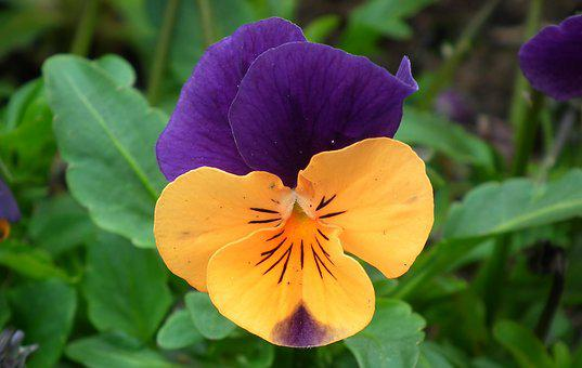 Flower, Pansy, Colored, Plant, Nature, Garden, Leaf