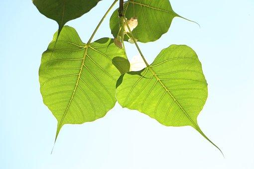 Leaf, Flora, Nature, Growth, Desktop, Freshness, Bodhi
