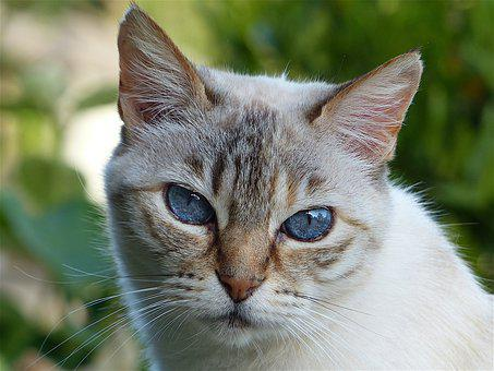 Cat, Head, Look, White Grey, Blue Eyes, Animal, Pet