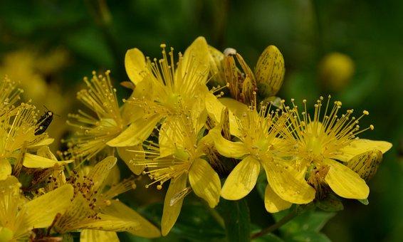Flower, Plant, Yellow, St John's Wort, Herb, Nature