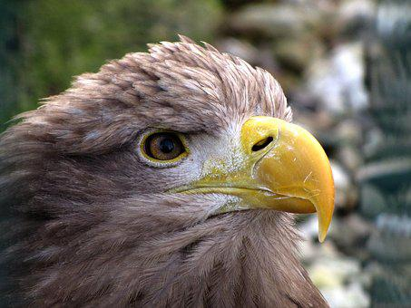 Animal World, Bird Of Prey, Adler, Prey, Bird, Portrait