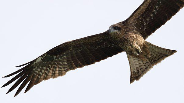 Bird, Raptor, Eagle, Wildlife, Hawk