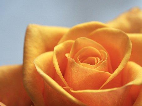 Rose, Affection, Flower, Romance, Love, Wedding, Pretty